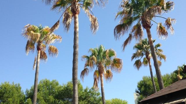 Mallorca-bomen